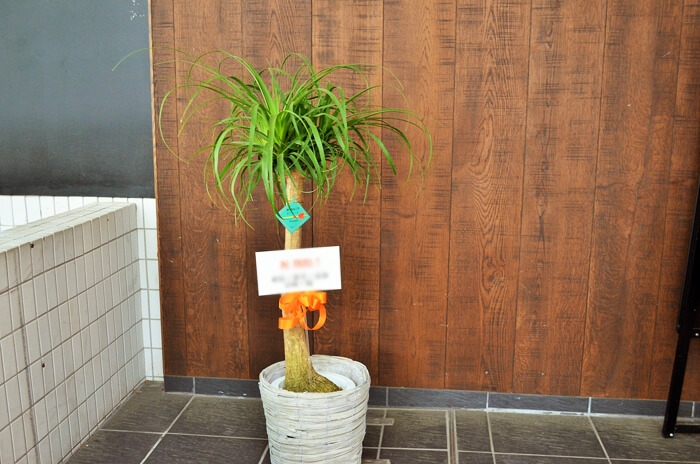 開店祝い観葉植物ポニーテール