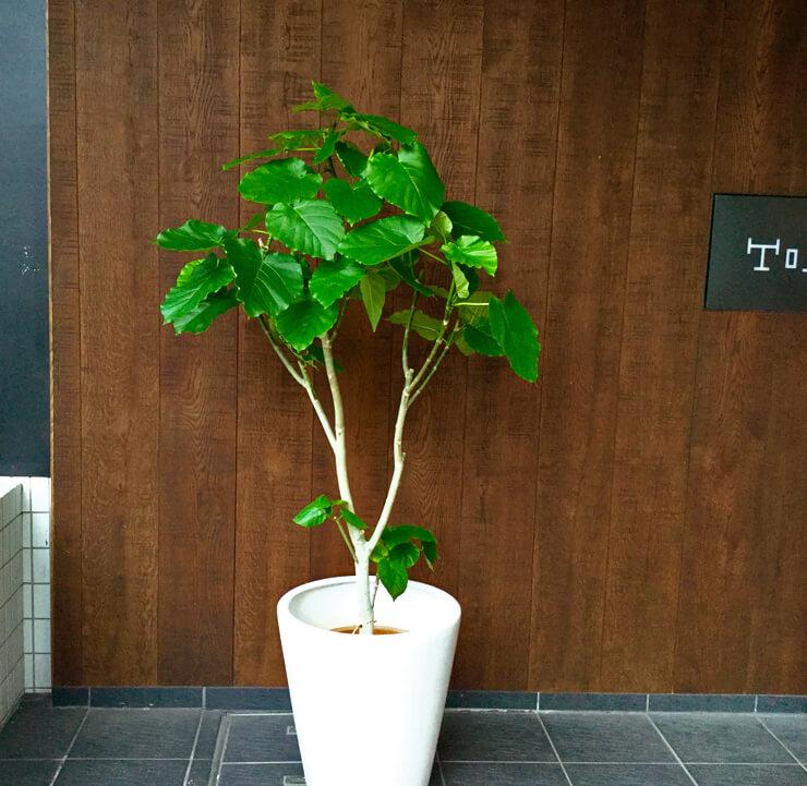 移転祝い観葉植物ウンベラータ