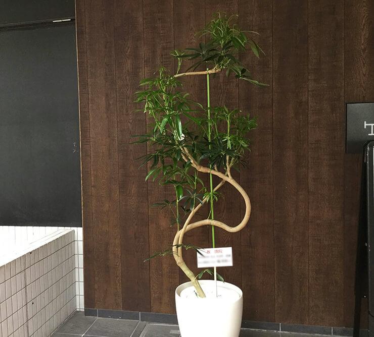 開院祝い観葉植物