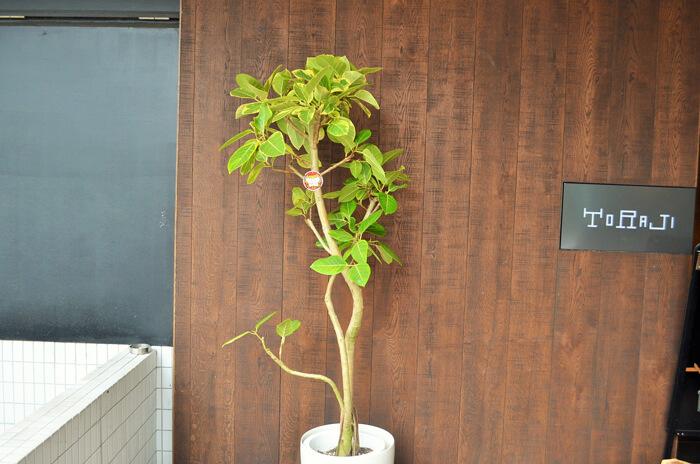移転祝い観葉植物フィカス