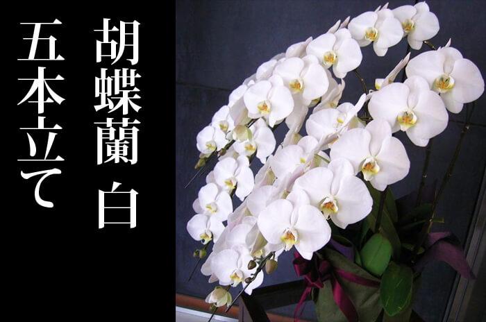 上場祝い胡蝶蘭