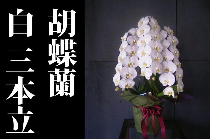 胡蝶蘭三本立