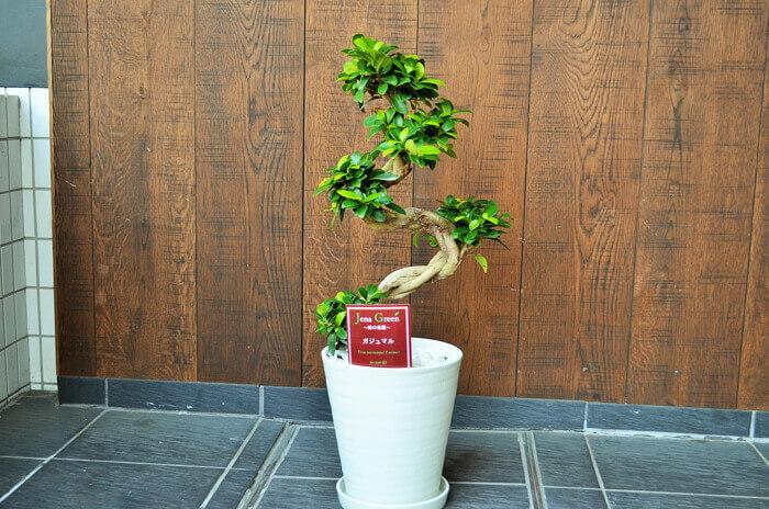 開店祝い観葉植物ガジュマル