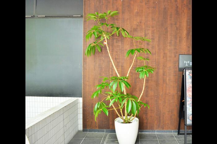 移転祝い観葉植物ツピタンサス