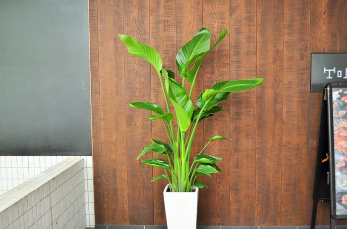 移転祝い観葉植物オーガスタ