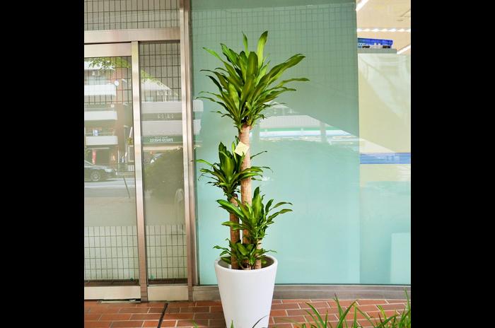 移転祝い観葉植物幸福の木
