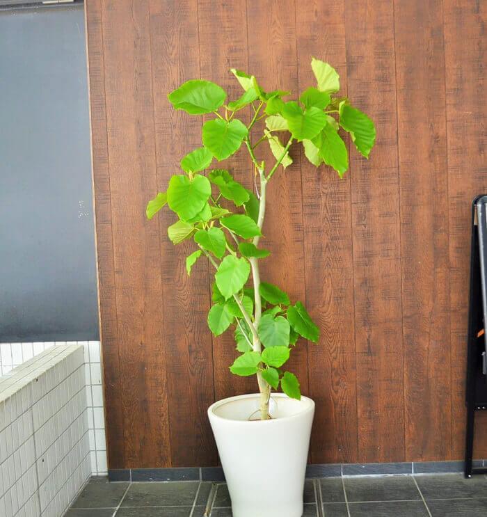 改装祝い観葉植物ウンベラータ