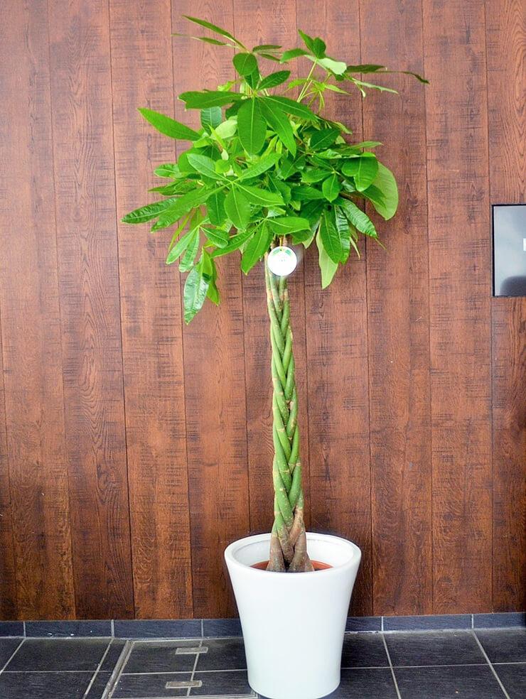 事務所開設観葉植物パキラ