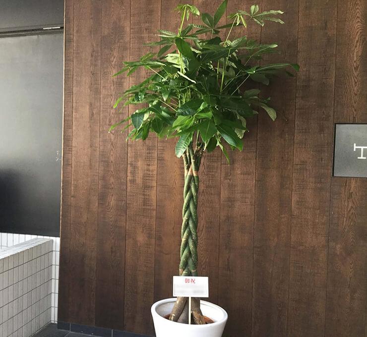 開業祝い観葉植物