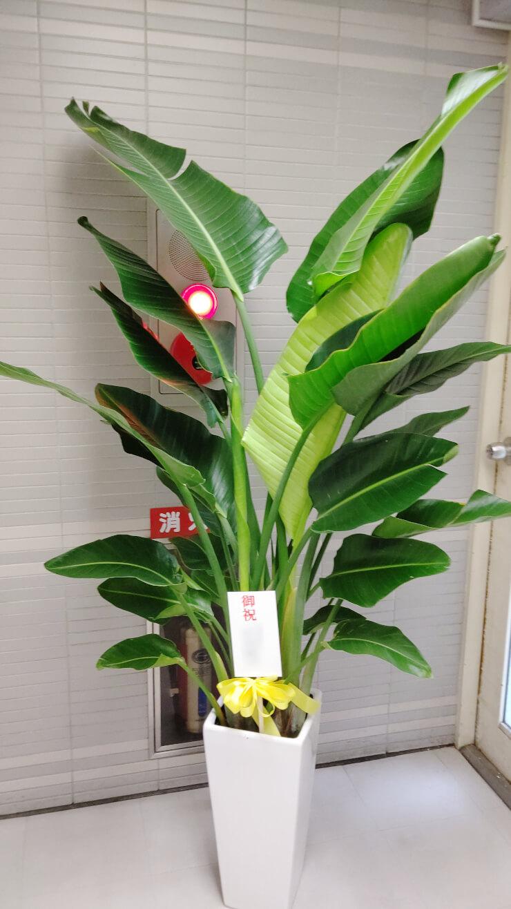 港区虎ノ門 藤本・早崎法律事務所様の開業祝いにお届けした観葉植物