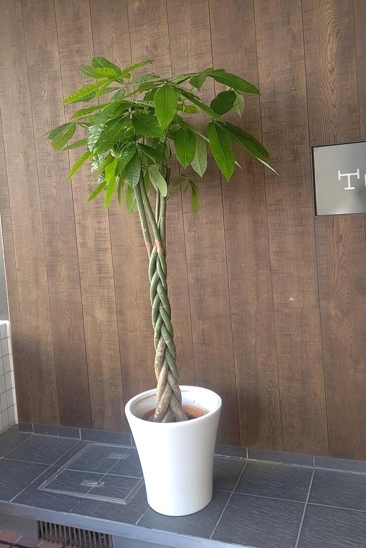 千代田区麹町 ひふみ総合法律事務所様の移転祝いにお届けした観葉植物